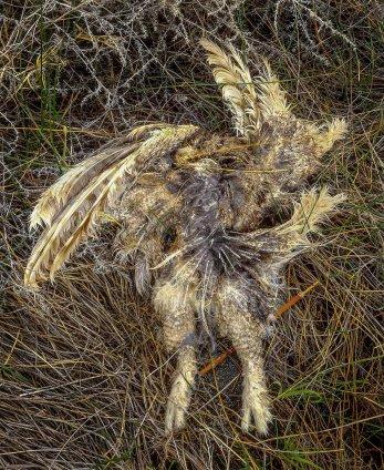 Dead owl, Mono Lake