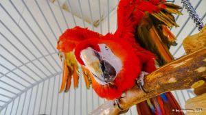 Bright red Macaw, Oasis Bird Sanctuary, near Benson, Arizona