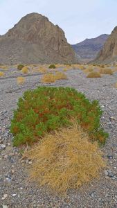 Creosote bushes, Echo Canyon Road