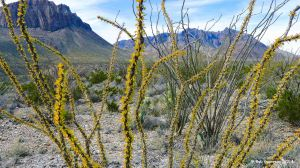 Ocotillo cactus detail, Big Bend National Park, Texas