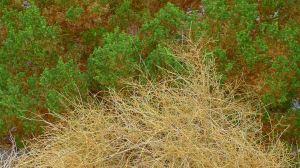 Creosote bushes