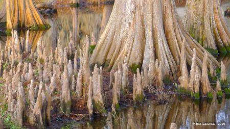Baby cypress trees, Lafayette, LA