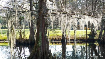 Spanish moss on cypress tree, Bayou Wilderness RV Resort, Lafayette, LA