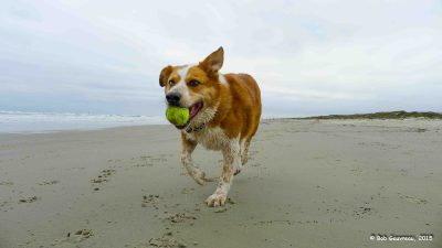 Wahooo!  Charlie is in Doggy Heaven on the beach, Mustang Island State Park, Texas