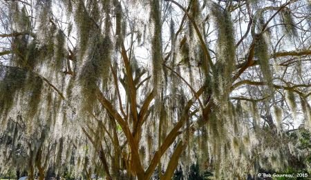 Historic Oak tree with moss, City Park