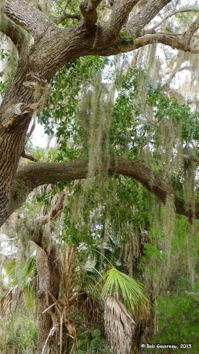 Live Oak and moss, near the 'Shell Mound' area, Cedar Key, FL.
