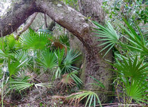 Live Oak and palmettos, near the 'Shell Mound' area, Cedar Key, FL.