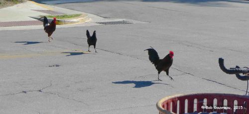 Why did the chicken(s) cross the road?  Key West, Florida
