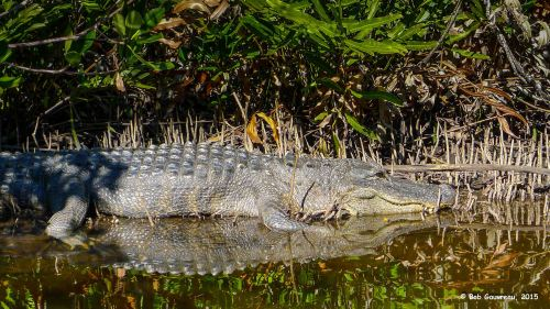 Bog-ass ' gator in sunning himself in the mangroves, Everglades National Park.