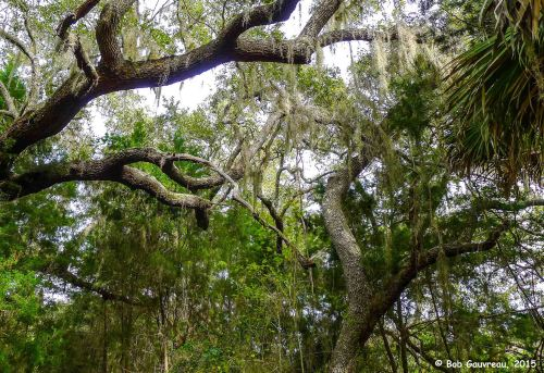 Live Oaks, near 'Shell Mound,' Cedar Key, Florida