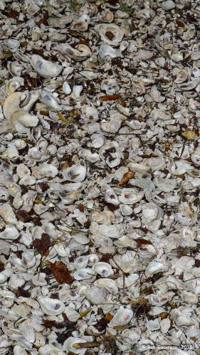 Ancient oyster shell remnants, 'Shell Mound,' near Cedar Key, FL.