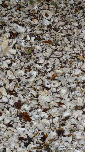 Ancient oyster shell remnants, 'Shell Mound,' near Cedar Key, FL.