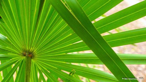 Palmettos, near 'Shell Mound,' Cedar Key, FL.