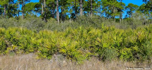 Palmettos and pine trees, off the beach near our site at the Ho-Hum RV Park, Carrabelle, FL.
