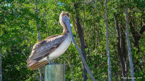 Pelican on a post, in Everglades National Park.