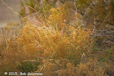 Delicate Bush Dead Horse