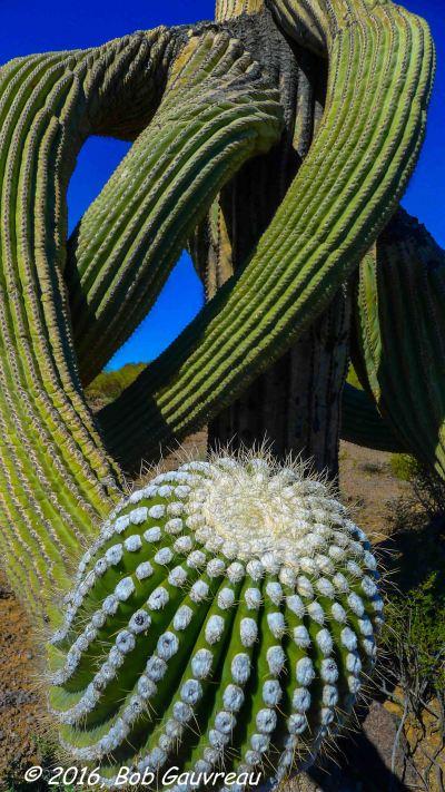 Blooming Odd Saguaro