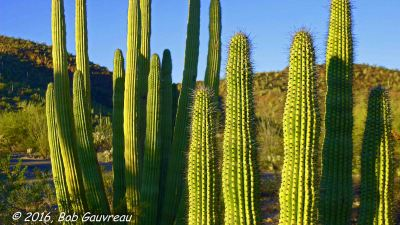 Dusk Organ Pipe Group