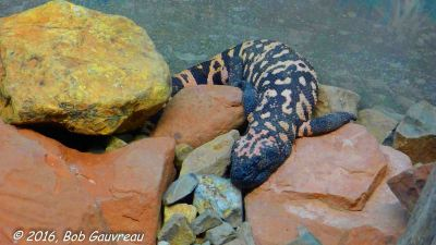 Gila Monster