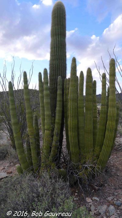 Organ Pipe and Cholla