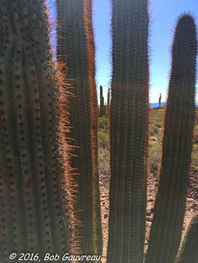 Saguaro Foreground and Background