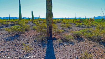 Saguaro in Center